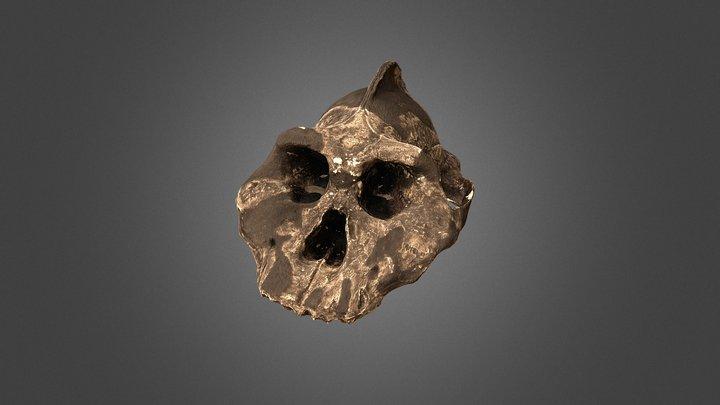 fossil (ethiopicus) 3D Model