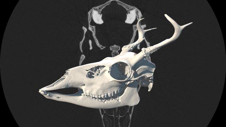 White-Tailed Deer (Odocoileus virginianus) 3D Model
