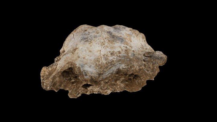 crâne de renne 3D Model
