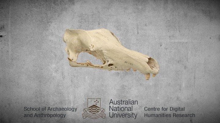 Thylacinus Cynocephalus cranium - annotated 3D Model