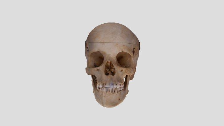 Human skull NC1K 3D Model