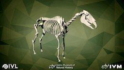 IMNH R-191 Equus asinus (Mule) 3D Model