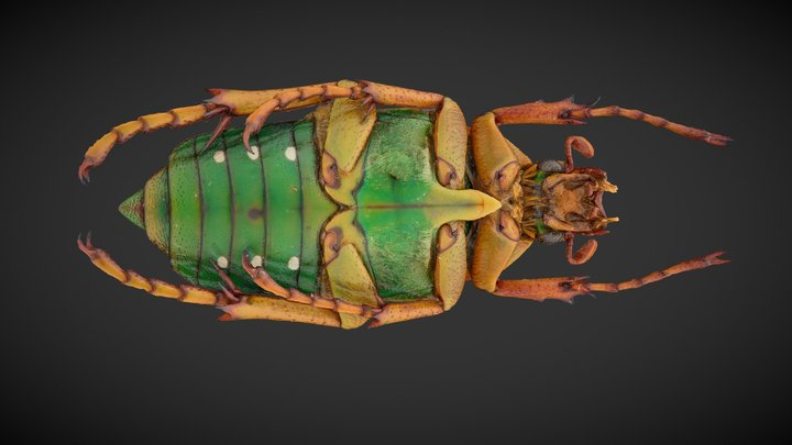 3D Model of insect (Spotted Flower Beetle) 3D Model