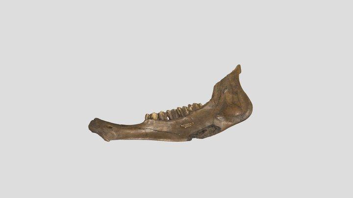 Fossil Bison antiquus dentary 3D Model