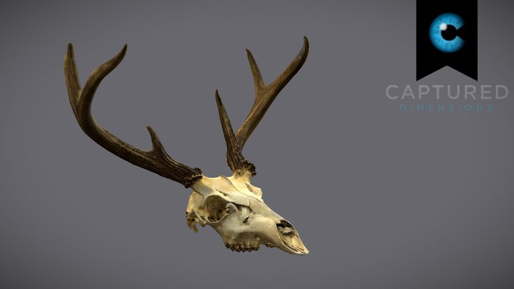 CD_Deer_Skull_Scan 3D Model