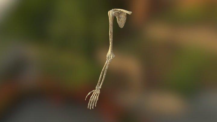 Arm Bone Right 3D Model