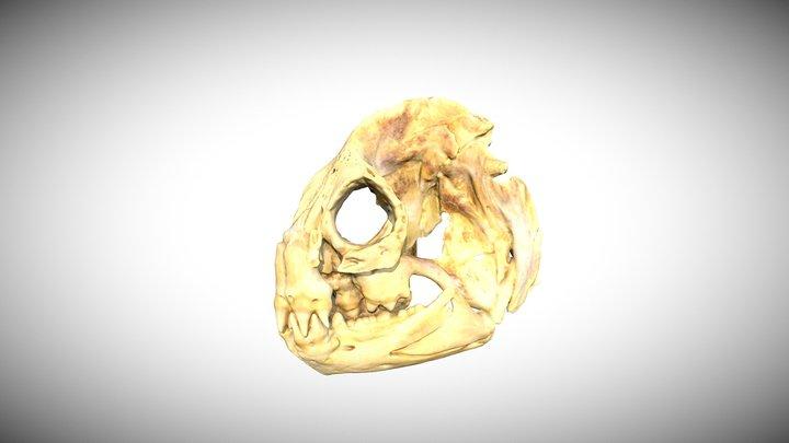 Wolf eel 3D Model