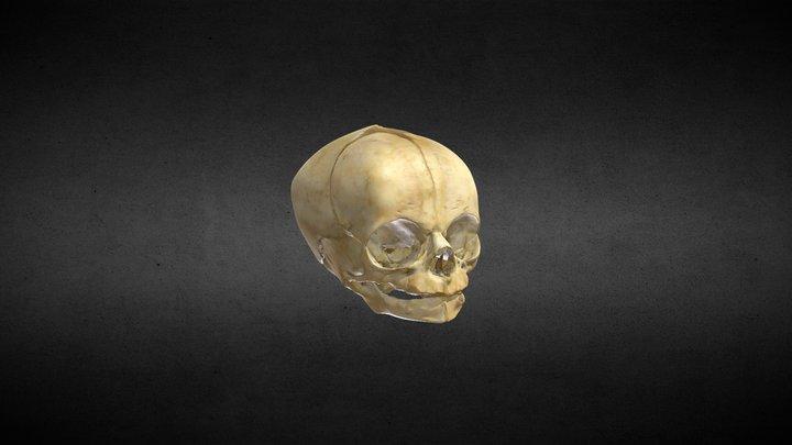 Cráneo Recién Nacido/Newborn skull 3D Model