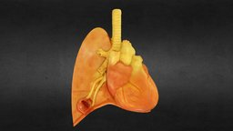 Heart and Lung 3D Model