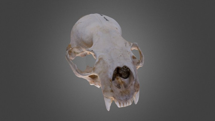 Otter cranium (no mandible) 3D Model