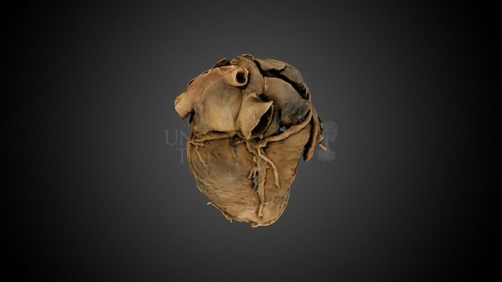 Plastinat eines menschlichen Herzens 3D Model