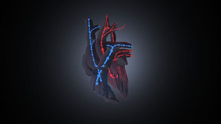 Cardiac hemodynamics (kids) 3D Model
