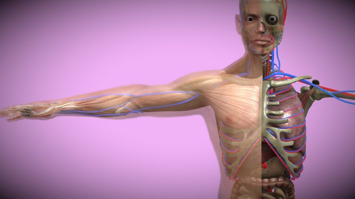 Male Anatomy- medical model 3D Model