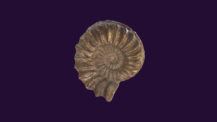Pleuroceras spinatum (pyritized) 3D Model