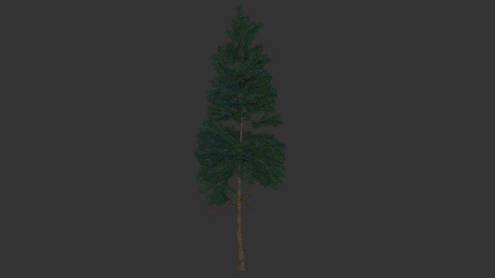 Pacific Fir 3D Model