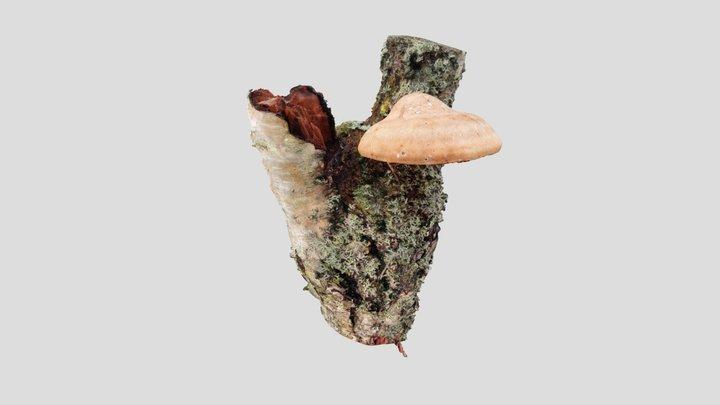 Pökkelökääpä (Fomitopsis betulina) 3D Model