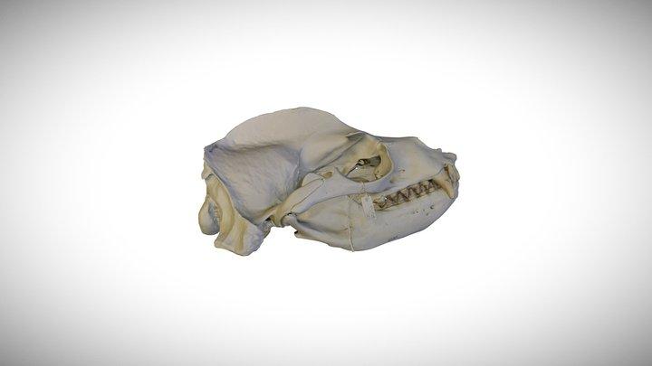 California sea lion / CAS:MAM:30170 3D Model