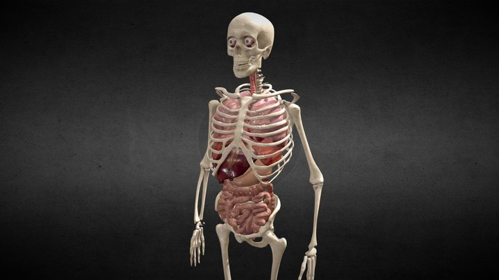 Animated human body anatomy 3D Model