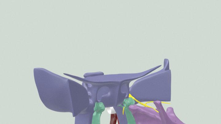Soft Palate muscles 3D Model