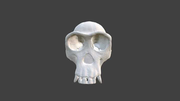 Female Chimp Skull 3D Model