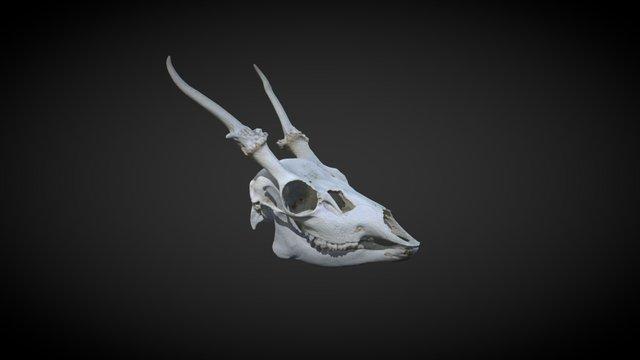 Fallow deer, skull 3D Model
