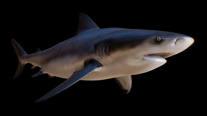 Bull shark (Carcharhinus leucas, Zambezi shark) 3D Model