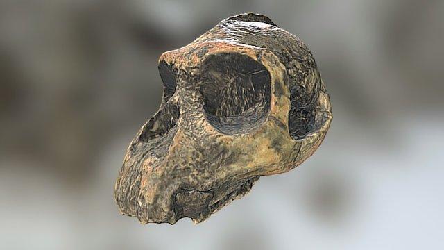 Cráneo de Paranthropus - Skull fossil 3D Model