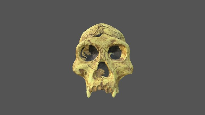 Dmanrsi Skull with Texture 3D Model