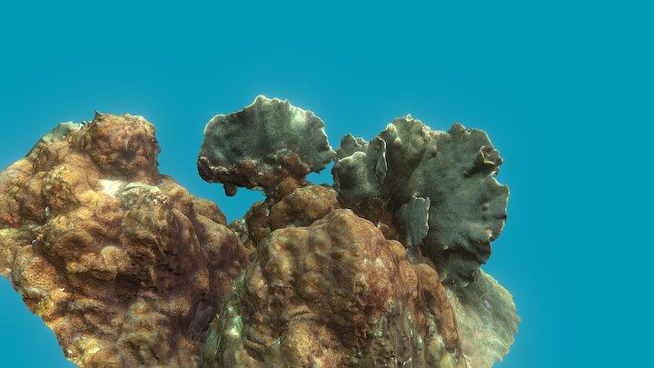 Pavona Coral 3D Model