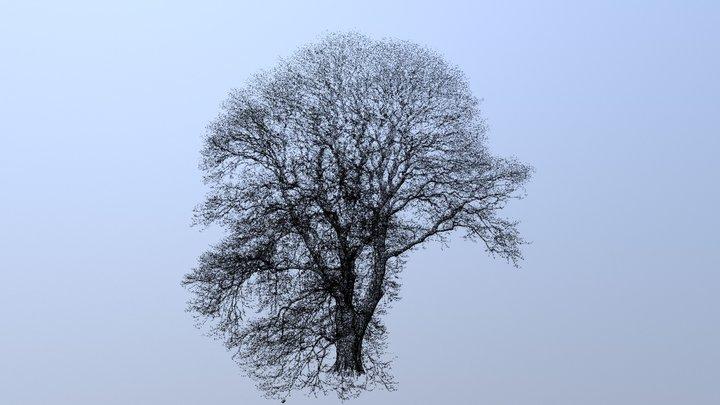 Chestnut-leaved oak (Quercus castaneifolia), Kew 3D Model