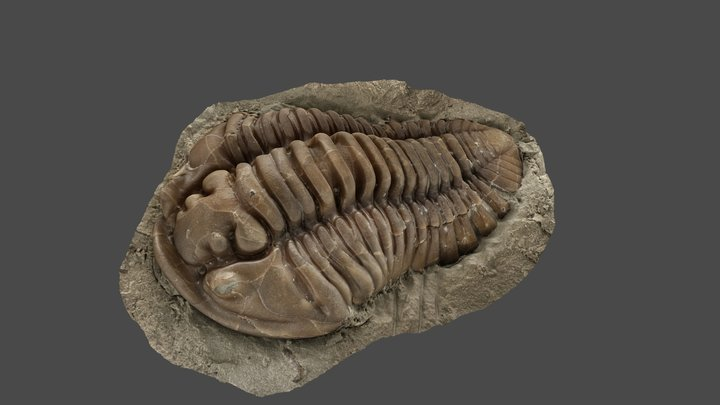 Trilobite (Flexicalymene retrorsa) 3D Model