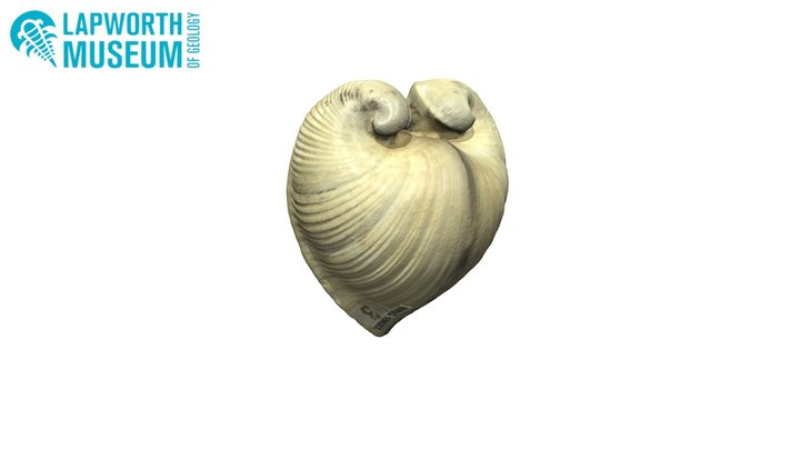Glossus humanus (oxheart clam) BIRUG 19022 3D Model