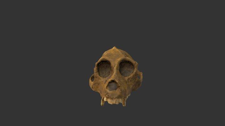 AEGYPTOPITHECUS CRANEO (AEGYPTOPITHECUS SKULL) 3D Model