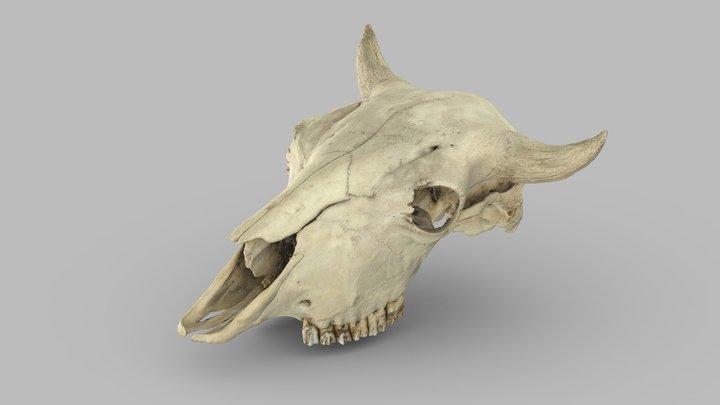 Bison (Bison bison), adult female, cranium 3D Model