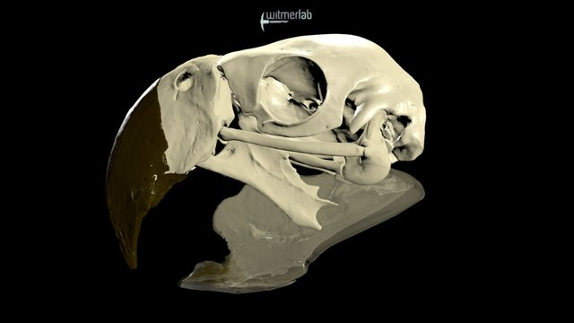 Scarlet macaw cranial kinesis animation 3D Model