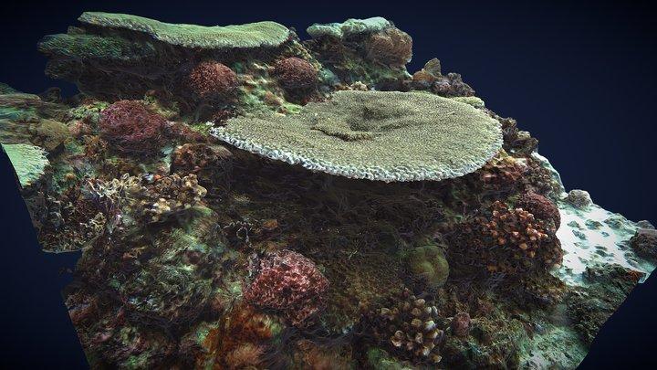 MAL Coral Acropora, Capitancillo Reefs 3D Model