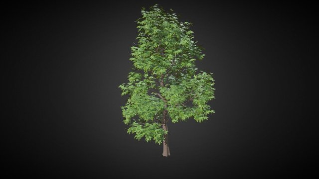 Brachychiton acerifolius (Flame Tree) 3D Model