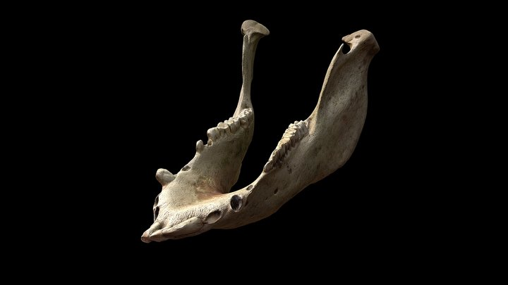 Mandíbula de jabalí (Sus scrofa castilianus) 3D Model