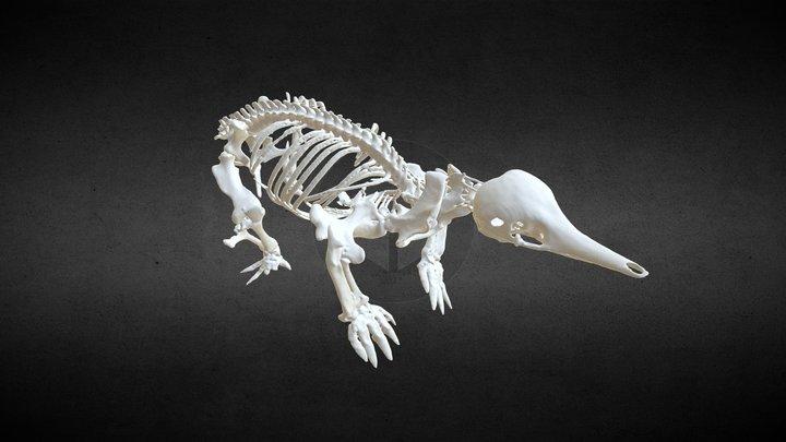 Echidna (Tachyglossus Aculeatus) 3D Model