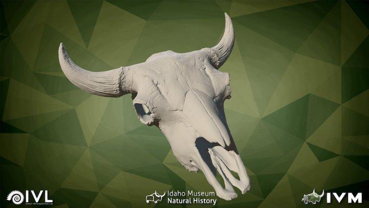 IMNH R-163 Bison Cranium 3D Model