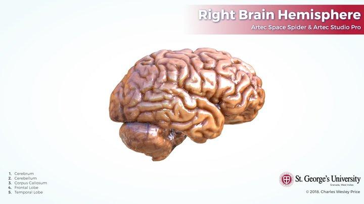 Right Brain Hemisphere 3D Model