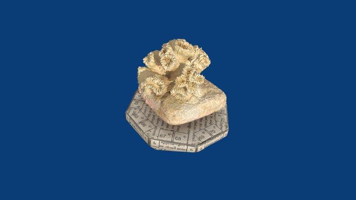 Eusmillia fastigiata 3D Model