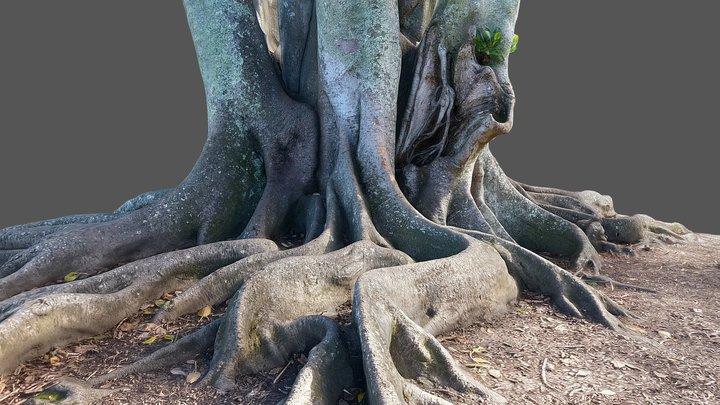 Moreton Bay Fig Tree 2 3D Model