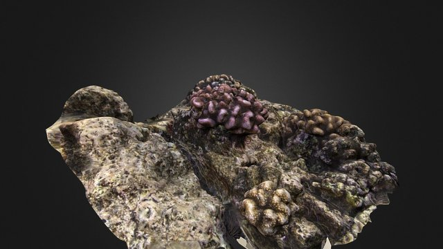 Pocillopora meandrina 3D Model