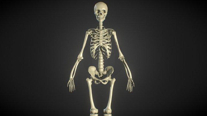 Female Human Skeleton - ZBrush - Anatomy Study 3D Model