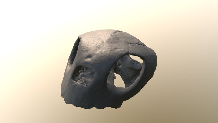Procolpochelys sea turtle skull CCNHM 893 3D Model