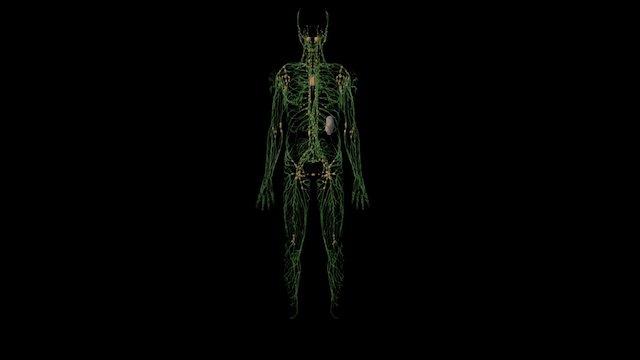 Lymphatic System 3D Model