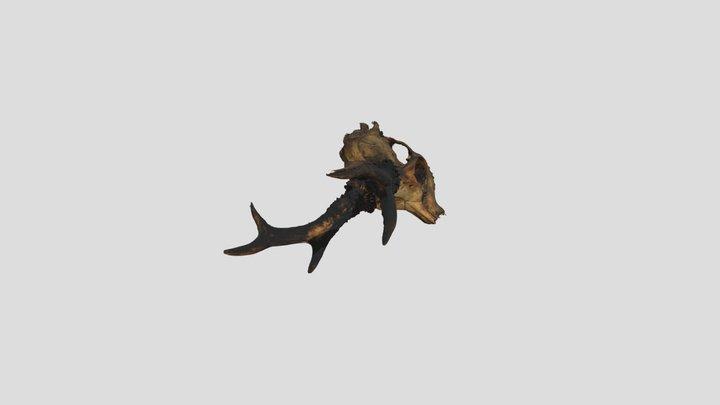 Fotogrametría de un cráneo de Corzo 3D Model
