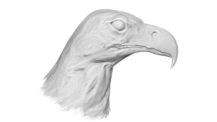 White-tailed eagle Head 3D Model