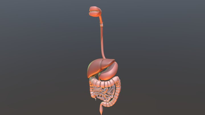 Disgetive System 3D Model